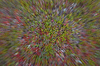Abstract impression of autumnal forest floor, Sarek National Park, Laponia World Heritage Site, Sweden