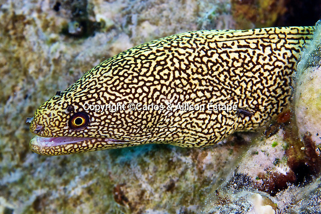 Gymnothorax miliaris, Goldentail moray, Bonaire