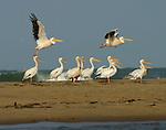 sterne en vol, pélicans blancs et péicans gris sur l'ile aux oiseaux..Sénégal. Delta du Saloum