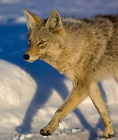 Coyote(Canis latrans)travels on roadway in Yellowstone NP in winter
