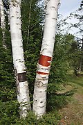 Birch trees at Forest Lake State Park in Whitefield, New Hampshire. Section of bark have been peeled from trees