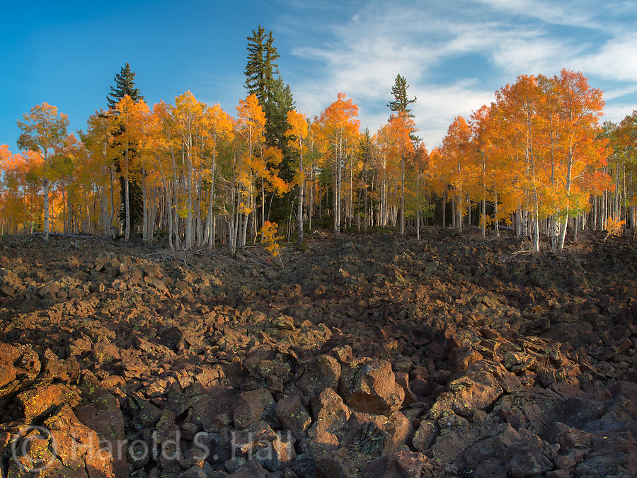 Near Duck Creek, Utah, the aspen trees grow to the edge of the lava fields providing a beautiful contrast between the yellow leaves and black basalt rocks..