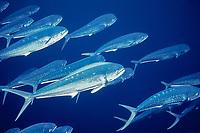 "common dolphinfish or mahi mahi, Coryphaena hippurus, juvenile, schooling, ""schoolies"", off Summerland Key, Florida Keys, Florida, USA, Caribbean Sea, Atlantic Ocean"