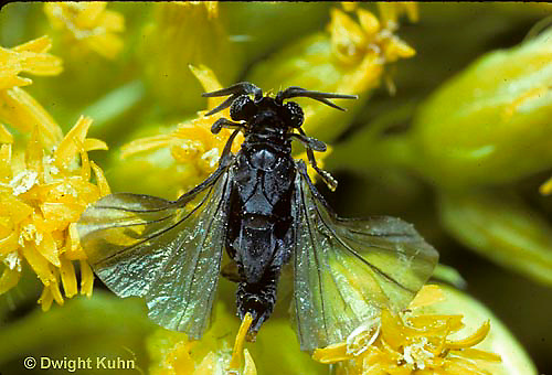 SF03-011d  Strepsiptera - male on goldenrod searching for mate - Xenos peckii