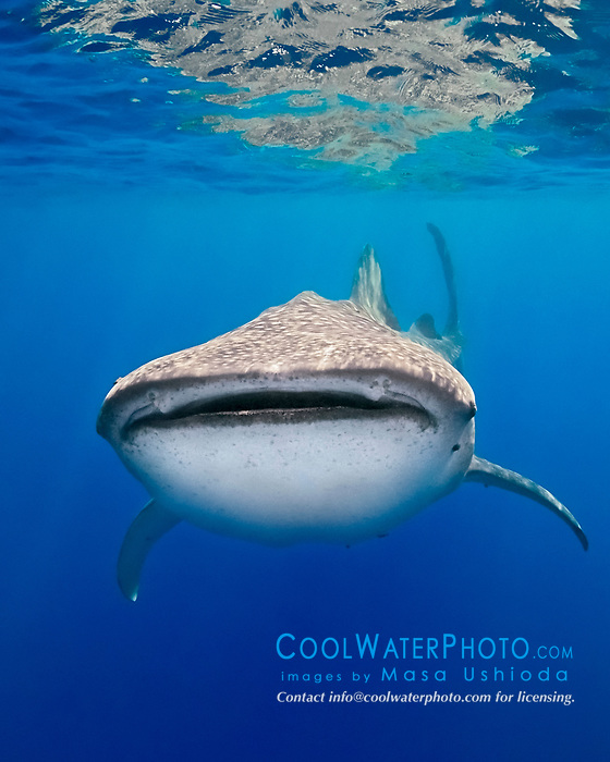 whale shark, Rhincodon typus, off Kohala Coast, Big Island, Hawaii, Pacific Ocean