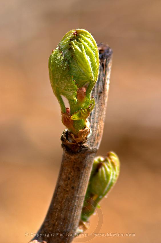 bud burst on the vine chardonnay le montrachet puligny-montrachet cote de beaune burgundy france