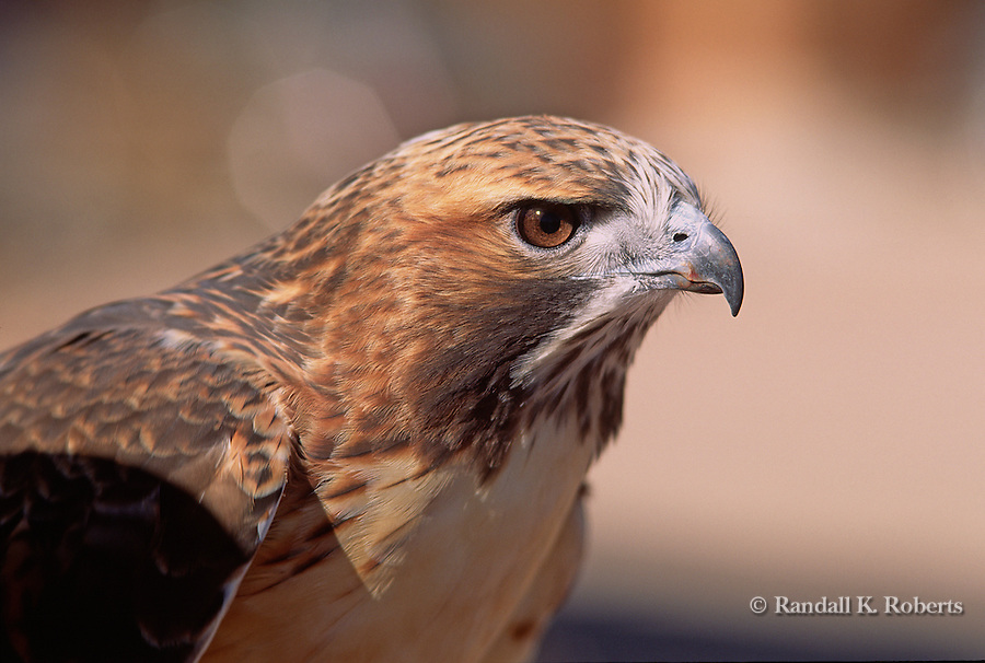 Red-tailed hawk (buteo jamaicensis) close-up.