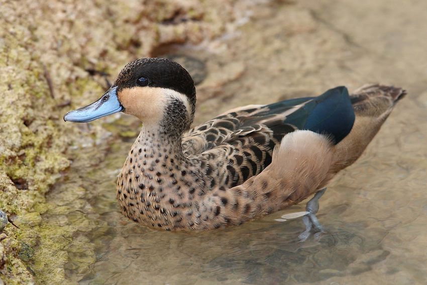The Hottentot teal is known for its black-capped head and distinctive blue bill. The duck's body is speckled brown and black, with black wings.