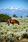 Nevada: Wild horses near Reno. Photo: nvre20104  .Photo copyright Lee Foster, www.fostertravel.com, 510/549-2202,  lee@fostertravel.com