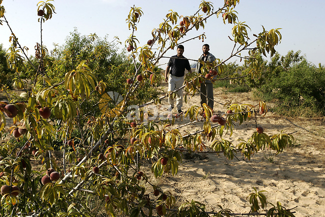 Palestinian farmers inspect trees in the land named (Mahrarat) left by the settlers in 2005, in west of Khan Younis in the southern Gaza Strip on May 24, 2011. Photo by Abed Rahim Khatib
