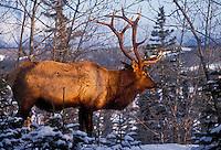 Elk bull (Cervus elaphus) in late autumn snow.  Jasper National Park, Alberta. Canada. Rocky Mountains.