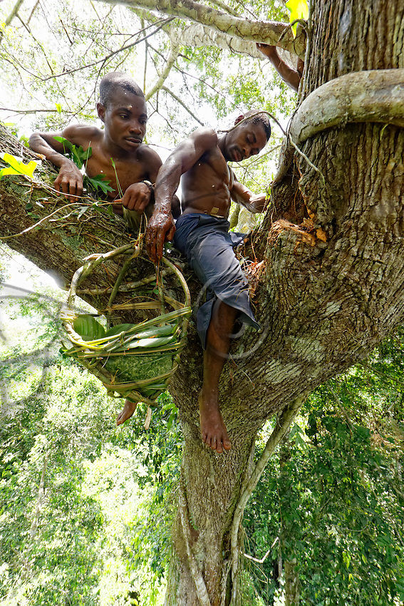 "On a giant mahogany tree, the honey-hunters work at the harvest as a team. One takes care of the nest while the other lowers the honey. <br /> In August and September, when the honey is very abundant, the ""Douma"", honey wine, is made.///Sur un acajou géant, les chasseurs travaillent ensemble à la récolte. L'un s'occupe du nid pendant que le second descend le miel.<br /> C'est en aout et en septembre quand le mile est très abondant que le « Douma », le vin de miel est fabriqué."