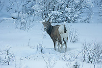Bighorn sheep (Ovis canadensis) in winter, Jasper National Park, Alberta, Canada