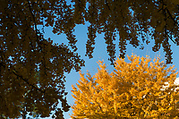 Engineering Row gingkoes with fall leaves.<br />  (photo by Megan Bean / &copy; Mississippi State University)