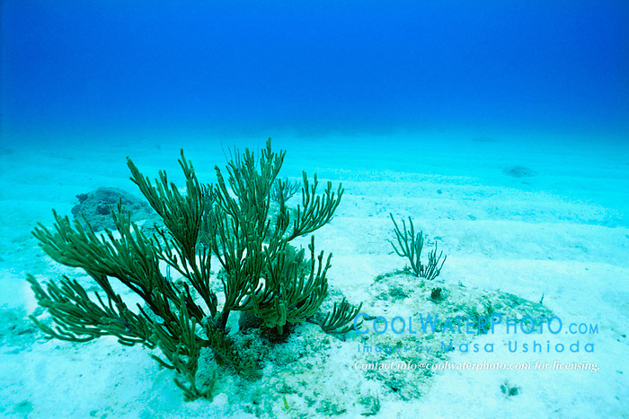 gorgonians on white sands.schoolmaster Ledge, .Miami, Florida (Atlantic)