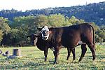 Cattle near Windsor
