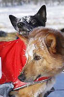 Friday March 9, 2012  Ed Stielstra dogs wait for the command to go as they stop briefly at the half-way checkpoint at Cripple.   Iditarod 2012.