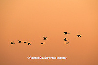 00748-032.06 Canada Geese (Branta canadensis) in flight at sunset, Horicon NWR   WI