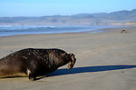 Elephant seal bull moving up beach at Ano Nuevo State Park