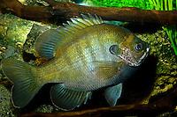 Bluegill, Lepomis macrochirus, Florida (c)