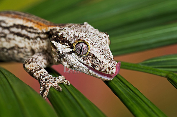 The Gargoyle gecko ( Rhacodactylus auriculatus) is found only on the southern end of the island of New Caledonia. Its habitat is threatened by deforestation on the island. Captive. TK10-901084.  T.Kitchin & V.Hurst.