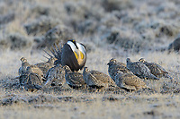 Female Greater Sage-Grouse (Centrocercus urophasianus) gathered in the center of a lek as the dominant male displays. Sublette County, Wyoming. March.