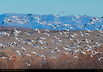 Snow Geese in Flight, Bosque del Apache Wildlife Refuge, New Mexico