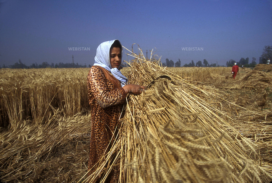 Egypt. Nile Delta. 1996... An Egyptian female farmer harvests a wheat field with a sickle. ..Egypte. Delta du Nil. 1996. Un paysanne egyptienne moissonne un champ de ble avec une faucille.