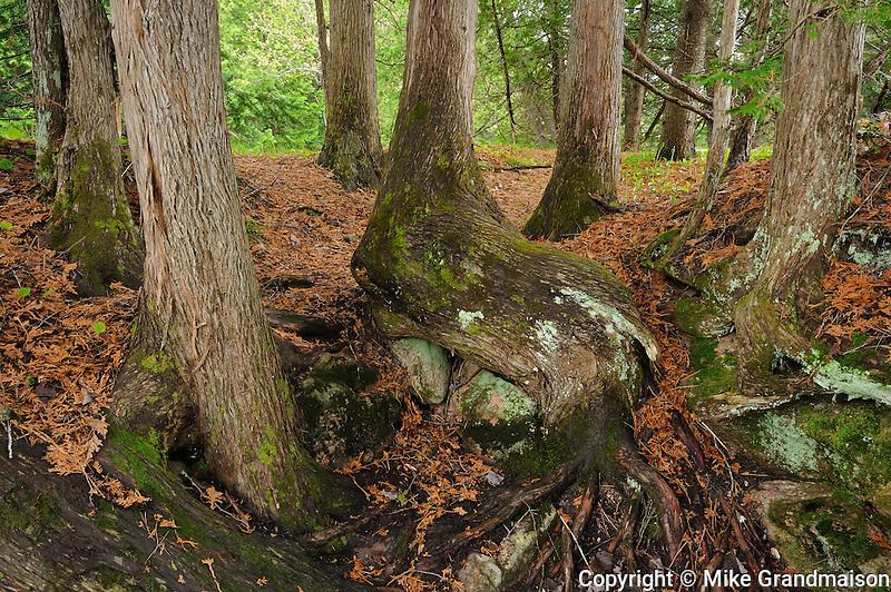 Cedars trees at MCCUTCHEON'S FALLS<br /> Vankoughnet<br /> Ontario<br /> Canada