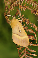 Oak Eggar Lasiocampa quercus Wingspan 45-70mm. An impressive, broad-winged moth. Male is day-flying, larger female is nocturnal. Adult male has reddish-brown wings with a curved yellowish crossband and white central spot; female has similarly patterned wings but the ground colour is buffish-yellow. Flies July-August. Larva is brown and hairy; feeds mainly on Heather. Widespread and locally common, mainly on heaths and moorland.