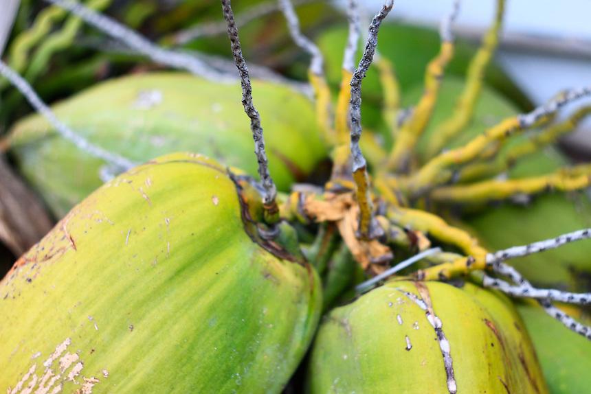 wild coconuts