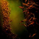 Kelp seaweed flowing in water