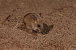 The Dusky Hopping Mouse (Notomys fuscus) is an Australian native rodent specialised for the deep desert. It is a threatened species categorized as vulnerable. Lake Eyre National Park from Halligan Bay