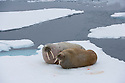 Walrus pair on ice floe (Odobenus rosmarus), June, Svalbard, Norway