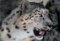 654409075 portrait of an adult snow leopard panthera uncia - individual is a wildlife rescue - species is native to the high steppes of central asia