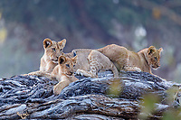 africa, Zambia, South Luangwa National Park,  Group of lion cubs seated on a  branch
