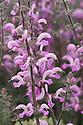Salvia x sylvestris 'Rose Queen'