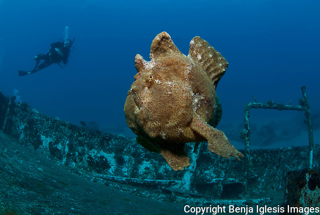 Diver and comerson frog fish swimming at the st anthonys wreck Maui Hawaii.