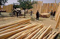 People loading truck with Poplar trunk for house roof frames