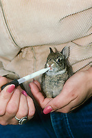 Baby rabbit, cottontail, being fed by dropper from hopeful family member after rescue