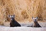 Spotted hyena (Crocuta crocuta) pups looking out of den entrance, Moremi Game Reserve, Okavango Delta, Botswana