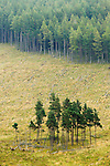 Pine (Pinus sp) tree stand and clear cut, Glen Isla, Scotland, United Kingdom