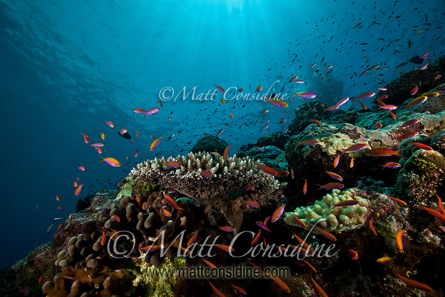Reef fish swarming in amazing blue water, Yap Micronesia (Photo by Matt Considine - Images of Asia Collection)