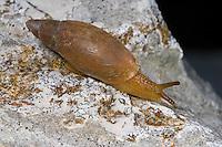 Dalmatinische Raubschnecke, Poiretia cornea, Achatina cornea, Dalmatian predator, Raubschnecken, Oleacinidae