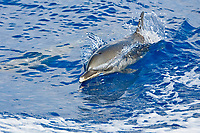 Pantropical Spotted Dolphin, Stenella attenuata, wake-riding, off Kona Coast, Big Island, Hawaii, Pacific Ocean