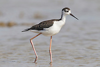 Black-necked Stilt - Himantopus mexicanus - Juvenile