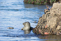 Harbor Seal at low tide (notice sea stars).  Pacific Northwest.  Summer.