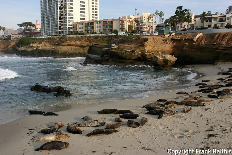 Harbor seals in La Jolla
