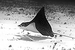 Aetobatus narinari, Spotted eagle ray, Cozumel, Mexico