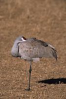 Sandhill Crane (Grus americana) relaxing on one leg.